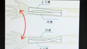 腕の骨の仕組み
