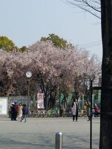 いずみホール 隣の大阪城公園のさくら